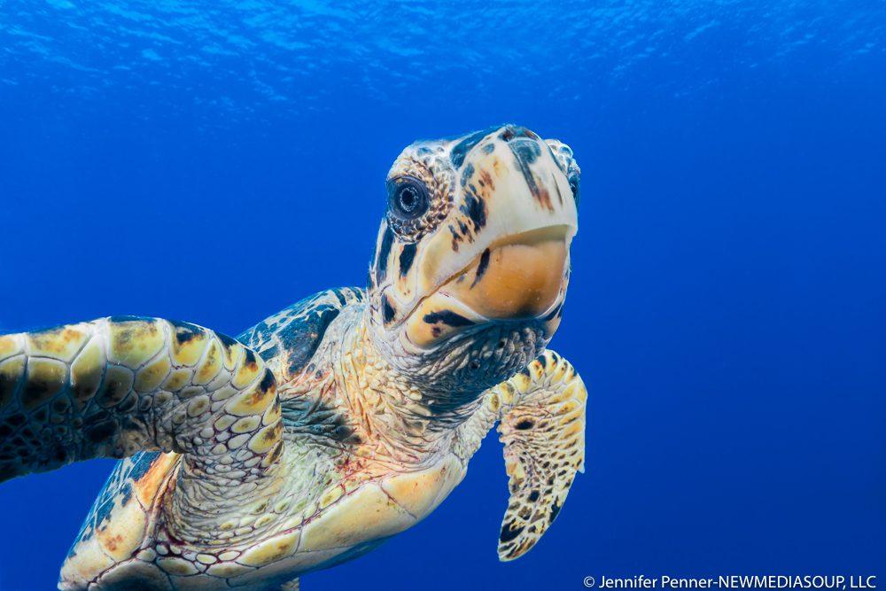 Hawksbill turtle underwater in Little Cayman