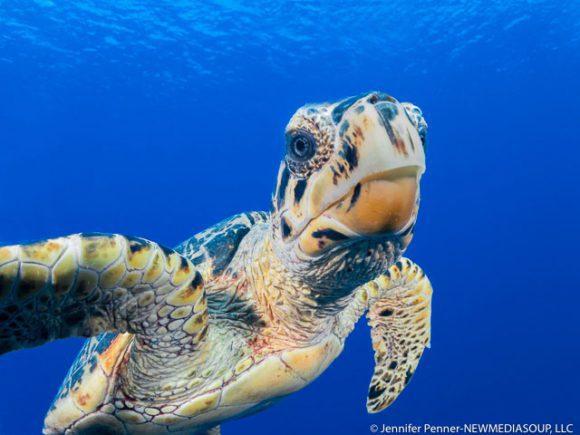 Little Cayman Hawksbill turtle underwater