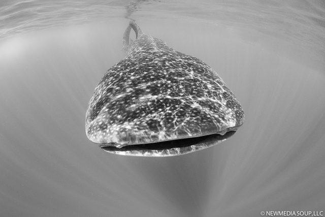 Newmediasoup_JenniferPenner_WhaleSharks2014-15