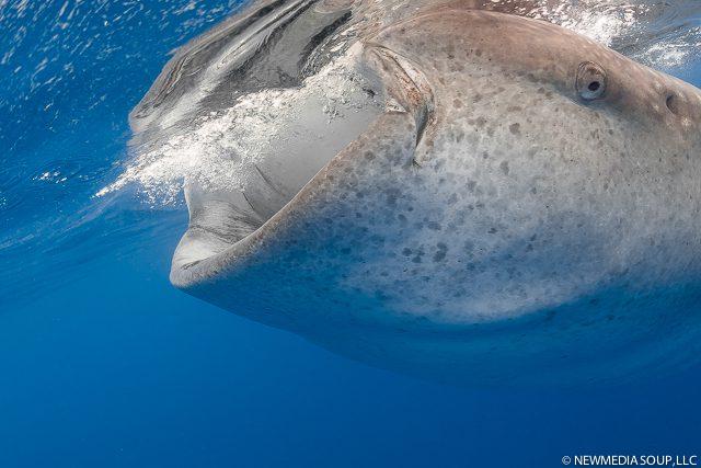 Newmediasoup_JenniferPenner_WhaleSharks2014-2