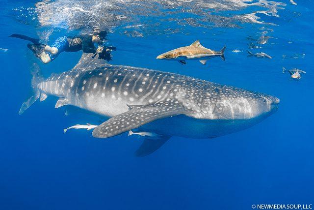 Newmediasoup_JenniferPenner_WhaleSharks2014-4