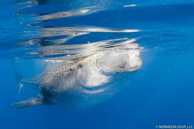 Newmediasoup_JenniferPenner_WhaleSharks2014-5